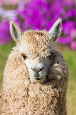 Alpaca Portrait in the Peruvian Andes at Cuzco Peru by OSTILL