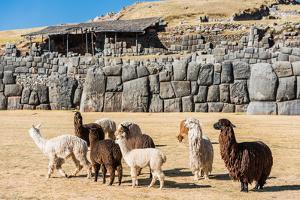Alpacas at Sacsayhuaman, Incas Ruins in the Peruvian Andes at Cuzco Peru by OSTILL