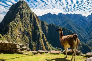 Llama at Machu Picchu, Incas Ruins in the Peruvian Andes at Cuzco Peru by OSTILL