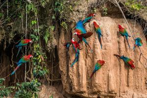 Macaws in Clay Lick in the Peruvian Amazon Jungle at Madre De Dios Peru by OSTILL