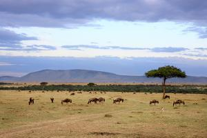 Wildebeest Herd in the Beautiful Plains of the Masai Mara Reserve in Kenya Africa by OSTILL