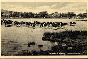 Ostseebad Kloster Insel Hiddensee, Kühe Überqueren Wasser