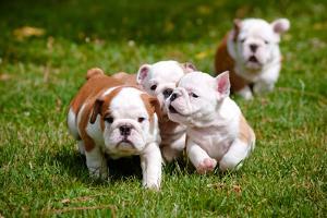 English Bulldog Puppies Playing by ots-photo