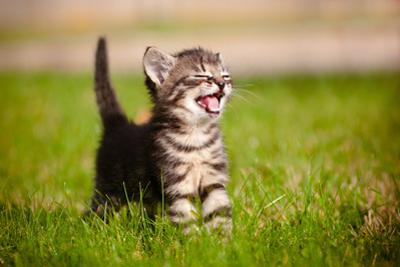 Tabby Kitten Outdoors Meowing by ots-photo