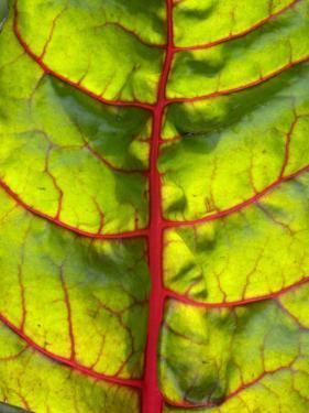 A Chard Leaf by Ottmar Diez