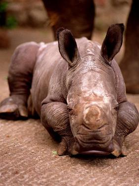 Otze the Rhinocerous Born at Edinburgh Zoo, June 1998