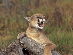 Cougar Growling by outdoorsman