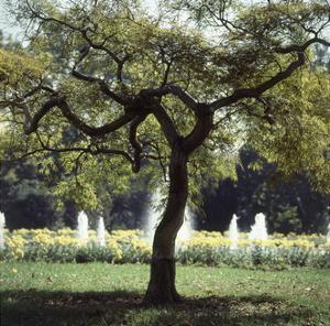 Outtake: Tree in the Jacqueline Kennedy Garden