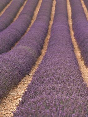 Field of Lavender by Owen Franken