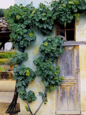 Grapevines Growing on House by Owen Franken