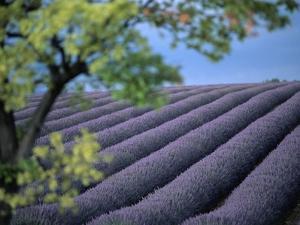 Lavender Fields in France by Owen Franken