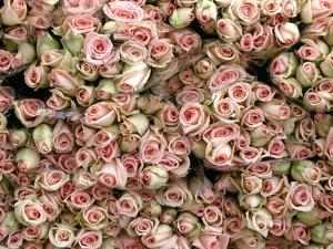 Pink and Cream Rose Bud Bunches by Owen Franken
