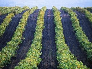 Vineyard of Domaine du Mas Cremat by Owen Franken