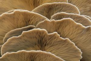 Oyster Mushroom Detailed Study of Fungi Gills