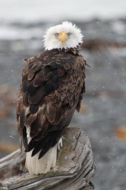 Bald Eagle by P. de Graaf