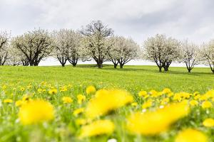 Blossoming Cherry Trees on a Meadow Full of Dandelion (Taraxacum Officinale), Spring, Basel Country by P. Kaczynski