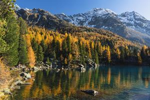 Mountain Lake Saoseo Surrounded by Colourful Larches in Front of Snow-Covered Mountainscape, Autumn by P. Kaczynski