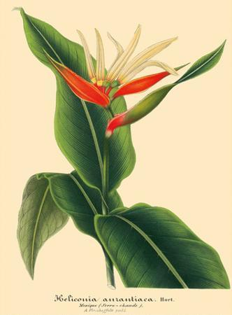 Heliconian (Aurantiaca) - Book Plate from L' Illustration Horticole Vol. 9