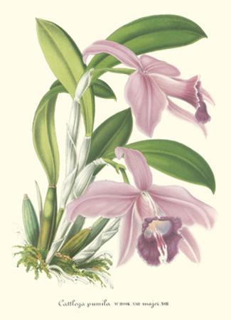 Lavender Orchids II