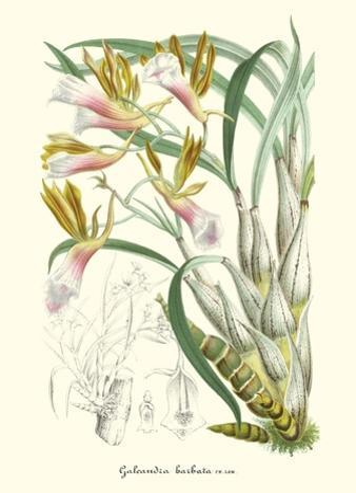 Lavender Orchids IV