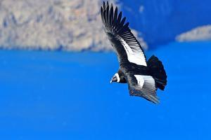 Andean Condor (Vultur Grifus), Torres del Paine, Patagonia, Chile, South America by Pablo Cersosimo