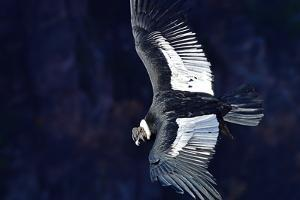 Andean Condor (Vultur Gryphus), adult male, Patagonia, Argentina, South America by Pablo Cersosimo