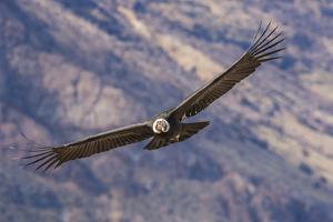 Andean Condor (Vultur Gryphus), Patagonia, Argentina, South America by Pablo Cersosimo