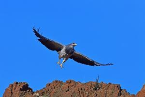 Black Chested Buzzard Eagle (Geranoates Melanoleucus), Patagonia, Chile, South America by Pablo Cersosimo