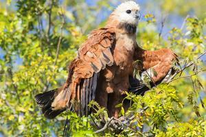 Black collared hawk (Busarellus Nigricolis), Pantanal, Mato Grosso, Brazil, South America by Pablo Cersosimo
