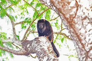 Black howler monkey (Alouatta Caraya), Pantanal, Mato Grosso, Brazil, South America by Pablo Cersosimo