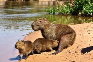 Capibara (Hydrochoerus hydrochaeris), Pantanal, Mato Grosso, Brazil, South America by Pablo Cersosimo