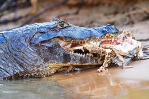 Cayman, Pantanal, Mato Grosso, Brazil, South America by Pablo Cersosimo