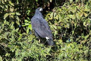 Great Black Hawk (Buteogallus Urubitinga), Pantanal, Mato Grosso, Brazil, South America by Pablo Cersosimo