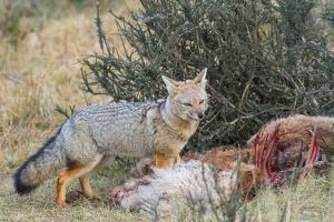 Grey Fox (Lycalopex Gymnocercus), Patagonia, Chile, South America by Pablo Cersosimo