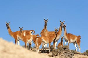 Guanaco (Lama Guanicoide) Pod over Dunes, Peninsula Valdes, Patagonia, Argentina, South America by Pablo Cersosimo
