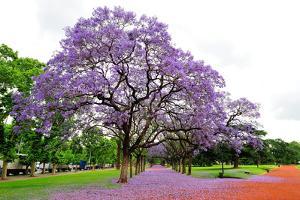 Jacaranda Tree (Jacaranda Mimosifolia), Buenos Aires City, Argentina, South America by Pablo Cersosimo