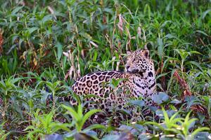 Jaguar (Panthera onca), Pantanal, Mato Grosso, Brazil, South America by Pablo Cersosimo