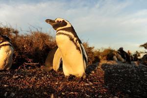 Magellanic Penguin (Spheniscus Magellanicus), Peninsula Valdes, Patagonia, Argentina, South America by Pablo Cersosimo