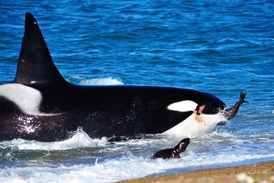 Orca (Orcinus Orca) Adult Male Hunting South American Sea Lion (Otaria Flavescens)