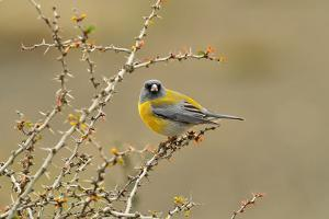 Patagonian Sierra Finch (Phrygilus patagonicus), Patagonia, Chile, South America by Pablo Cersosimo