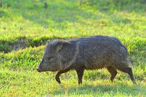 Pecari (Pecari tajacu), Pantanal, Mato Grosso, Brazil, South America by Pablo Cersosimo