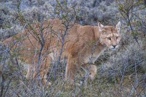 Puma (Puma Concolor) (Wild Puma), Patagonia, Chile, South America by Pablo Cersosimo