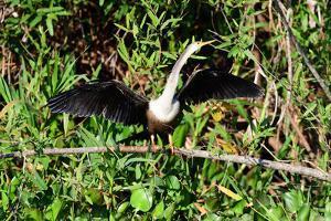 Snakebird (Anhinga Anhinga), Pantanal, Mato Grosso, Brazil, South America by Pablo Cersosimo