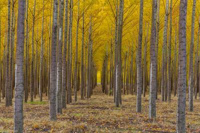 https://imgc.allpostersimages.com/img/posters/pacific-albus-trees-in-orderly-fashion-hermiston-oregon_u-L-PU3NBT0.jpg?p=0