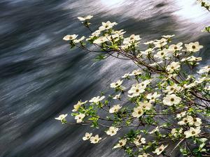 Pacific Dogwood (Cornus nuttallii) flowers blooming over Mackenzie River, Willamette National Fo...