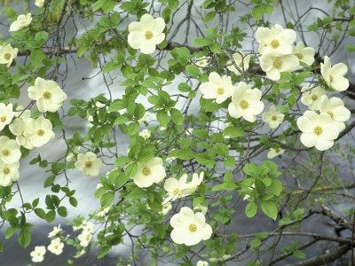 https://imgc.allpostersimages.com/img/posters/pacific-dogwood-tree-in-bloom-yosemite-national-park-california-usa_u-L-P42FN40.jpg?p=0
