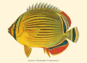 Lauhau (Chaetodon Trifasciatus) - Hawaiian Rainbow Butterflyfish - from Fishes of Hawaii by Pacifica Island Art