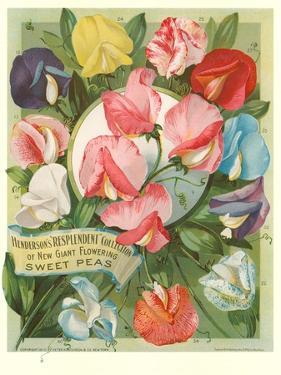 Packet of Sweet Pea Seeds