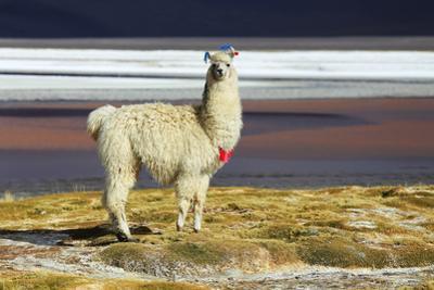 Alpaca in Salar De Uyuni, Bolivia Desert by padchas