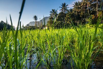 https://imgc.allpostersimages.com/img/posters/padi-field-in-lake-toba-sumatra-indonesia-southeast-asia_u-L-Q12SDAS0.jpg?p=0